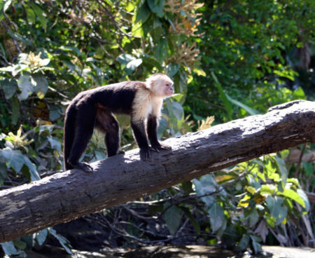 https://lostbeachtours.com/wp-content/uploads/2015/07/Mangrove-monkey-tour-jaco-costa-rica-450x368.jpg