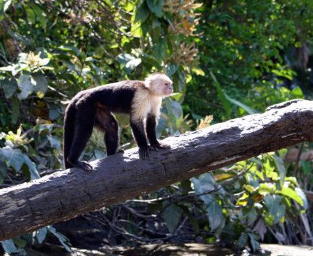 http://lostbeachtours.com/wp-content/uploads/2015/07/Mangrove-monkey-tour-jaco-costa-rica-450x368.jpg