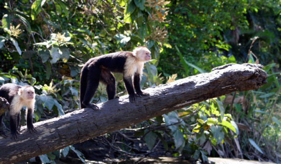 https://lostbeachtours.com/wp-content/uploads/2015/07/Mangrove-monkey-tour-jaco-costa-rica-559x327.jpg